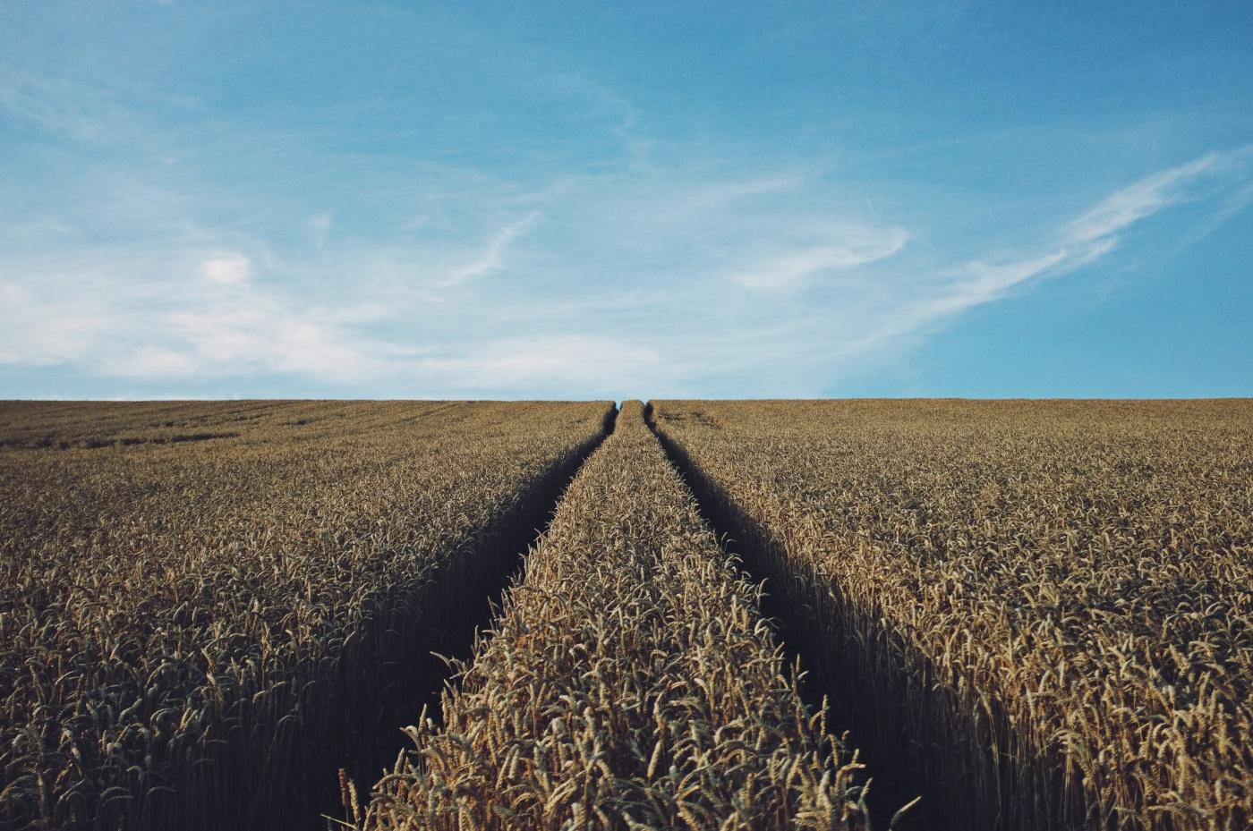 field grain