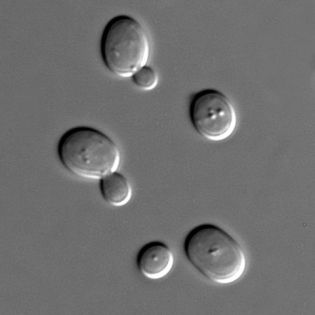 480px-S_cerevisiae_under_DIC_microscopy